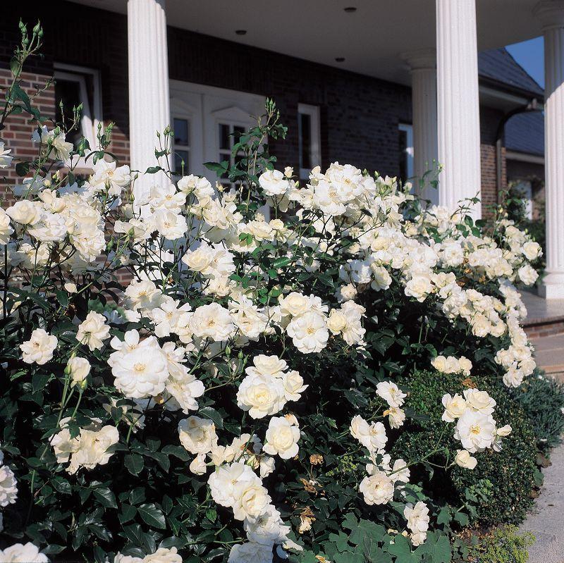 ryhm ruusu rosa schneewittchen puutarhamyym l ja. Black Bedroom Furniture Sets. Home Design Ideas