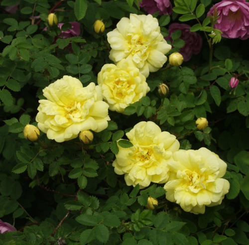 Harrisoninruusu - Rosa Harrisonii `Williams Double Yellow`