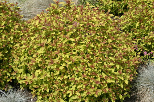 Keltajapaninangervo Magic Carpet - Spiraea japonica `Walbuma` C2
