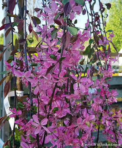 Purppuraomenapuu - Malus `Royal Beauty` 150--200