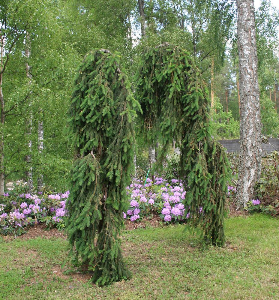Riippakuusi Picea Abies Inversa 90 110 Puutarhamyymälä Ja