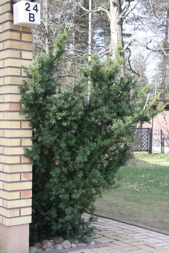 Kartiomarjakuusi - Taxus media `Hicksii` 50-70