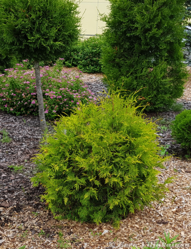 Kultapallotuija - Thuja occidentalis `Golden Globe` 40-45