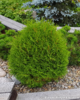 Pallotuija - Thuja occidentalis `Tiny Tim` C5