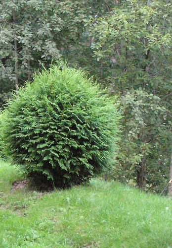 Pallotuija - Thuja occidentalis `Woodwardii` 100+