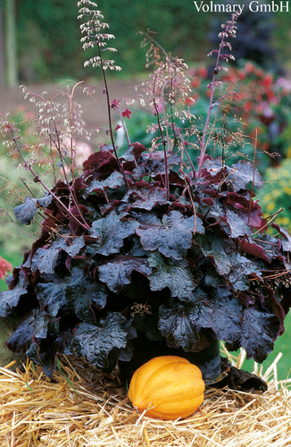 Purppurakeijunkukka - Heuchera micrantha 'Palace Purple'