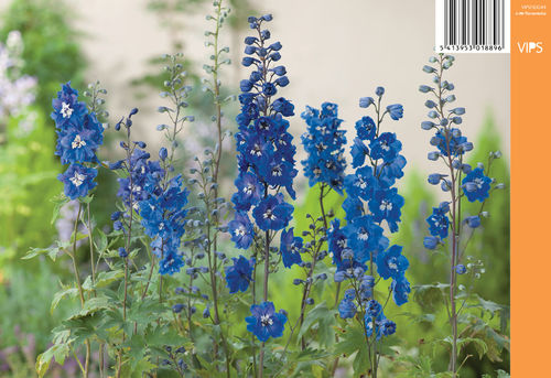 Jaloritarinkannus, sininen - Delphinium Magic Fountains 'Blue'