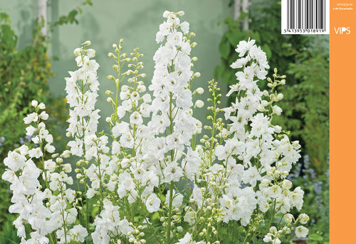 Jaloritarinkannus, valkoinen - Delphinium Magic Fountains 'Pure White'