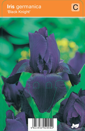 Saksankurjenmiekka - Iris germanica 'Black Knight'