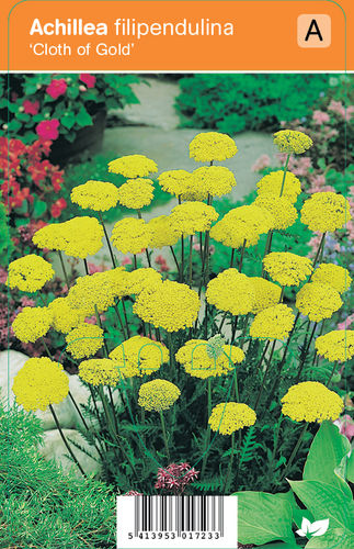 Kultakärsämö - Achillea filipendulina 'Cloth of Gold'