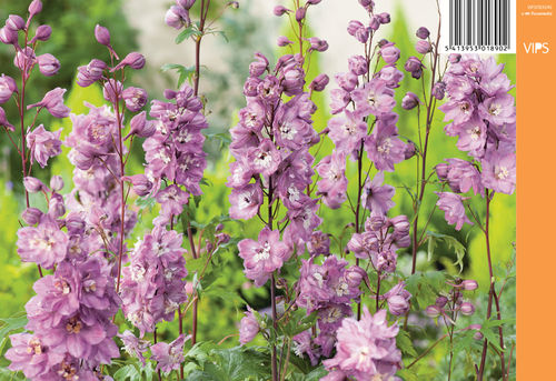 Jaloritarinkannus, vaaleanpunainen - Delphinium Magic Fountains 'Pink Shades'
