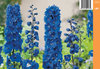 Jaloritarinkannus, sininen - Delphinium Magic Fountains 'Sky Blue'