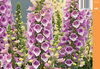 Tarhasormustinkukka - Digitalis 'Dalmation Rose'