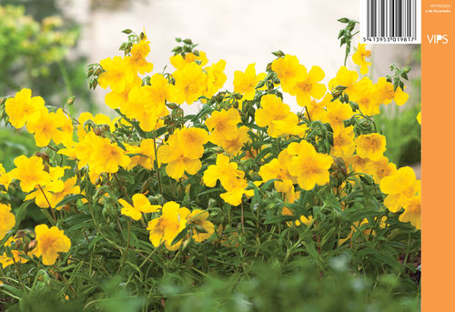 Päivännouto - Helianthemum 'Golden Queen'