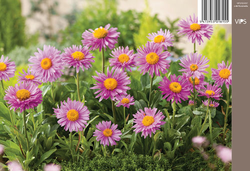 Alppiasteri - Aster alpinus 'Happy End'