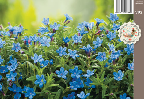 Sinilemmiö - Lithodora diffusa 'Heavenly Blue'
