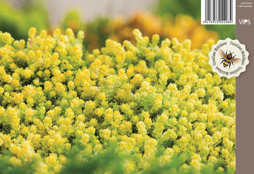 Keltamaksaruoho - Sedum acre ' Yellow Queen'