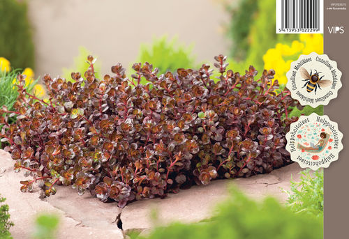 Kaukasianmaksaruoho - Sedum spurium 'Purple Winter'