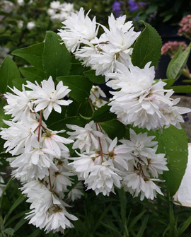 isonietospensas - Deutzia scabra