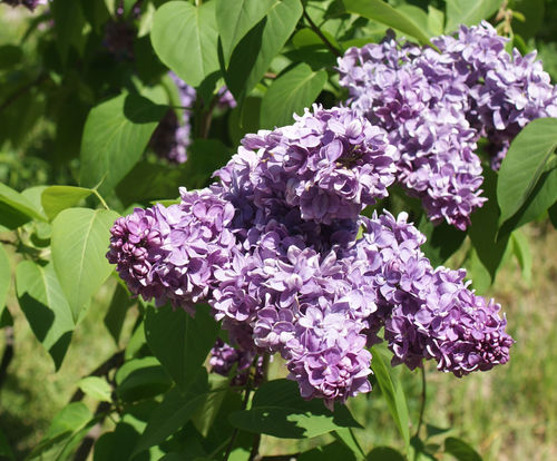 Jalosyreeni - Syringa vulgaris 'Katherine Havemeyer' C5