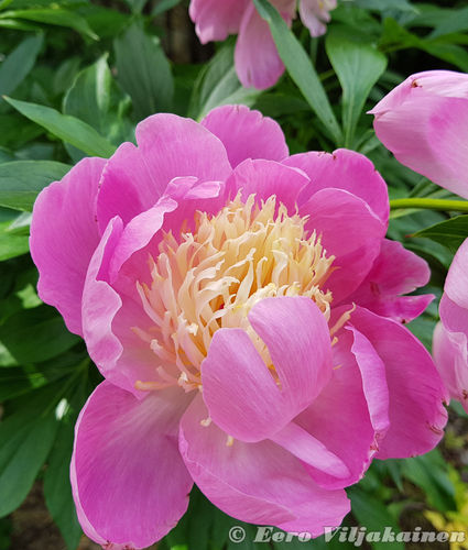 Kiinanpioni - Paeonia lactiflora 'Bowl of Beauty' C3