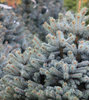 Hopeakuusi - Picea pungens 'Super Blue Seedling` 120-140