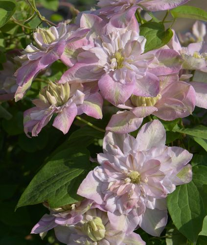 Loistokärhö - Clematis Innocent Blush
